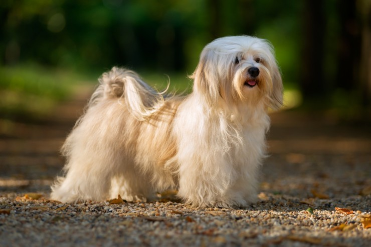 Havanese Information Dog Breeds At Dogthelove