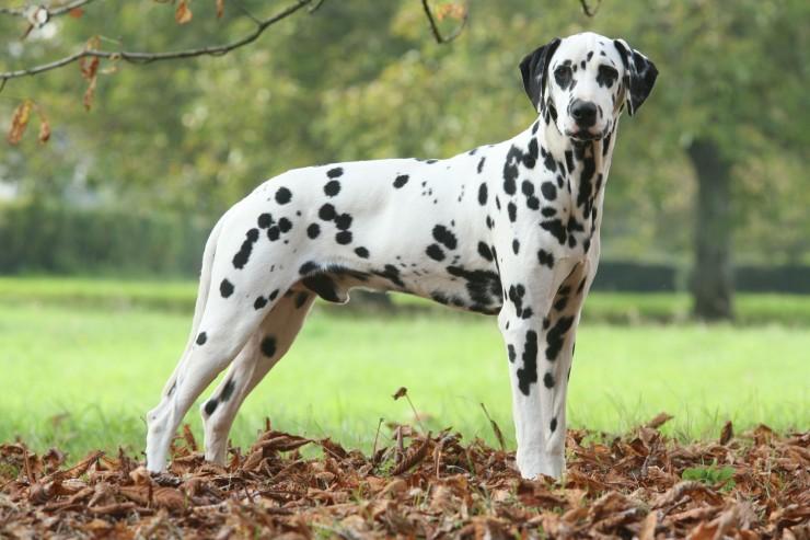 Female Dogs Name In  Dalmatians