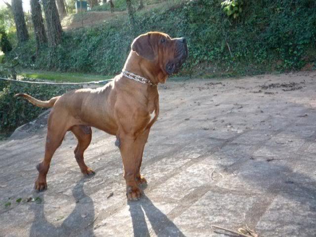 Tosa Inu Information Dog Breeds At Dogthelove