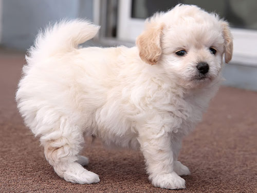 Top Breed Dogs For Sale