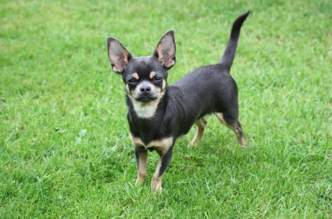 Smooth Coat Chihuahua Information Dog Breeds At Dogthelove