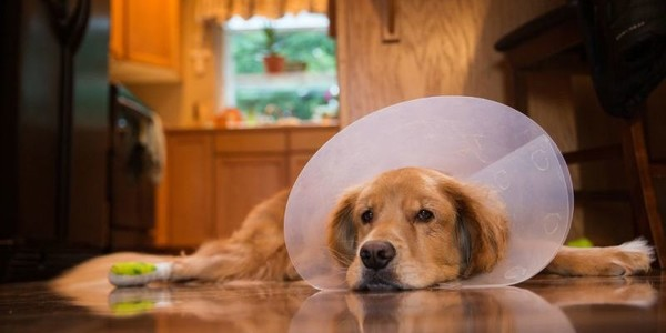 Most Expensive Dog Breeds in Medical Costs