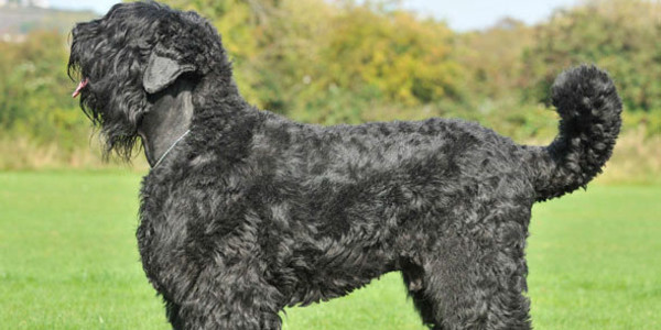 Top 20 Largest Dog Breeds
