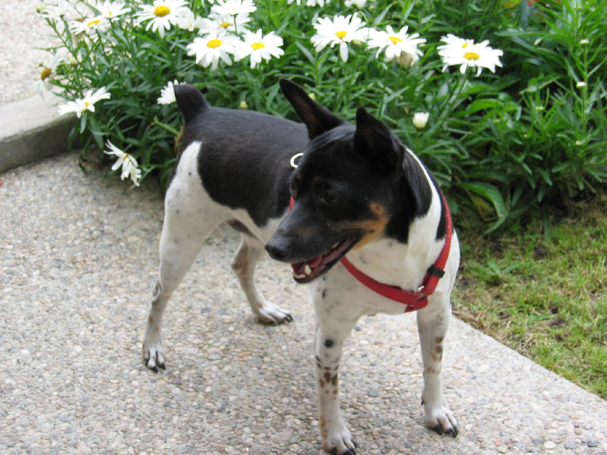 Rat Terrier Information Dog Breeds At Dogthelove