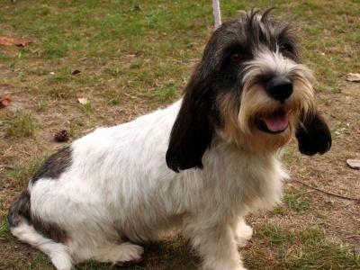 Petit basset griffon vendeen information dog breeds at - Petit basset griffon vendeen breeders toulon ...