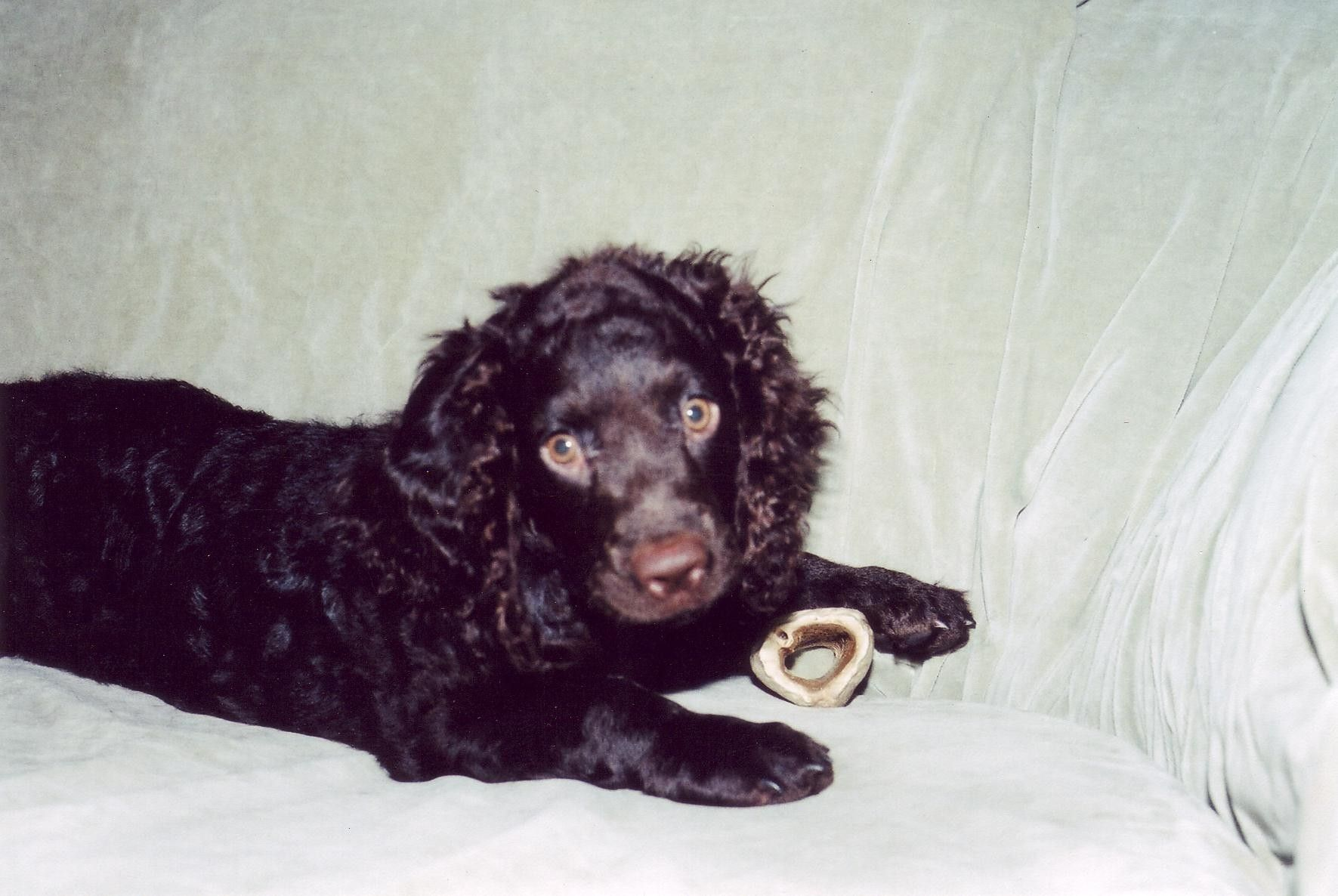 American Water Spaniel Information - Dog Breeds at dogthelove American Water Spaniel Dogtime