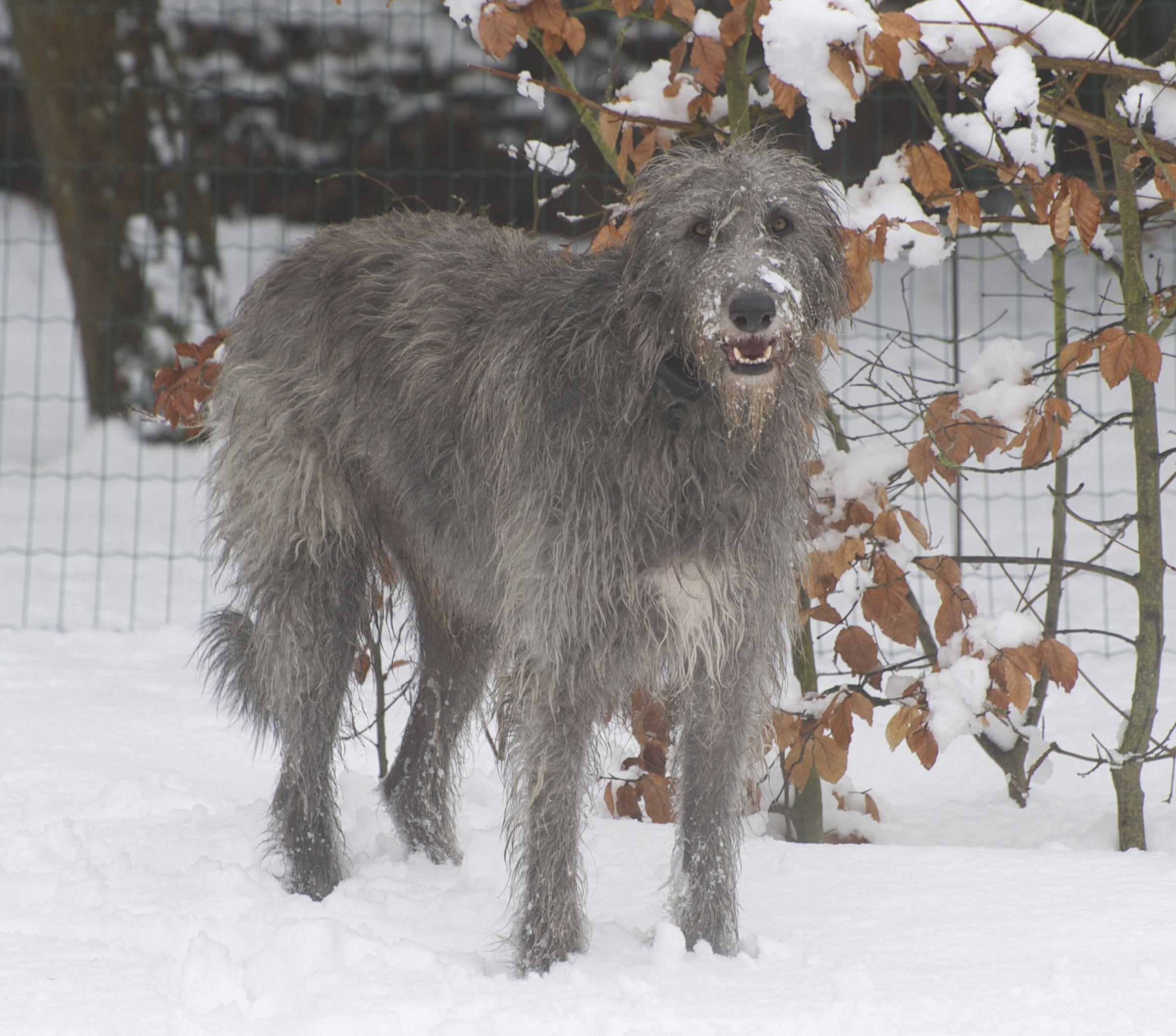 Scottish Deerhound Information Dog Breeds At Dogthelove
