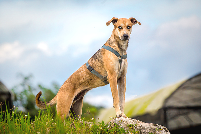 For Sale Sign >> Catahoula Leopard Dog Information - Dog Breeds at dogthelove