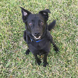 "Adopt a dog:Quinn /Labrador Retriever / Pomeranian Mix/Male/Adult,Quinn is about 18 mos 28 lbs. He and his brother were dumped on a highway. He is shy and timid, but a great housemate that loves being with his humans. He will be your shadow. All he wants to do is please you. He is learning to walk on a leash. He will do best in a quiet calm house with middle-aged/retired couples that like walks. He does like calm dogs and kids and nice cats but will be just happy being only an indoor dog with a dog bed. He wears his expression in his head turns as he is a distemper survivor. He is healthy, but just has a slight head ""twitches"" that are only noticeable when stressed."