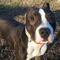 Peppermint Patty/Pit Bull Terrier Mix/Female/Young