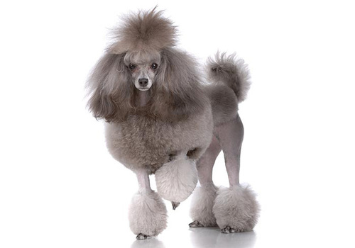 Poodle (Toy)