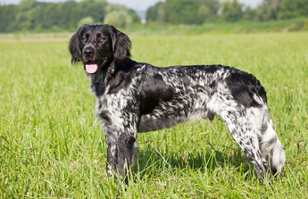 Small Munsterlander Pointer