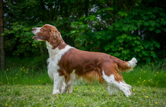 Welsh Springer Spaniel
