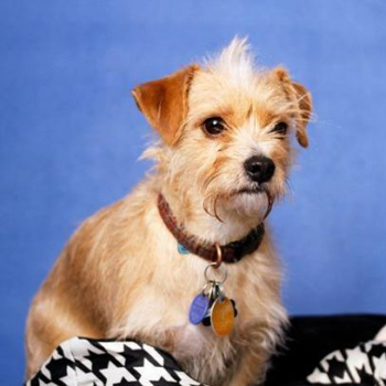 Cairn Terrier / Chihuahua Mix/Male/3 years