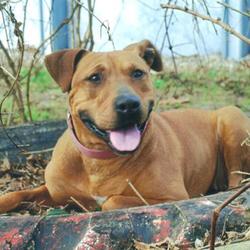 Leia/Staffordshire Bull Terrier Mix/Female/Adult
