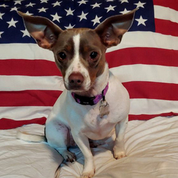 Katy/Rat Terrier Mix/Female/Young