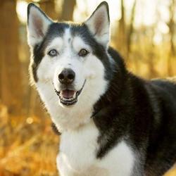 Damon/Siberian Husky/Male/Senior