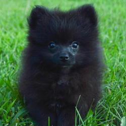 Henry/Pomeranian/Male/13 Weeks
