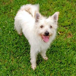 Mia/West Highland White Terrier / Westie / Terrier Mix/Female/Adult