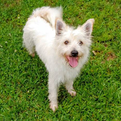 Adopt a dog:Mia/West Highland White Terrier / Westie / Terrier Mix/Female/Young,Mia is believed to be a Westie mix, approximately 2yrs 2month old(July), approximately 17lbs(July), spayed, current on age appropriate vaccinations, house/crate trained & microchipped. Mia was pulled from a shelter after her time was up & she was found as a stray with Marley. She spends her time snuggled with the other dogs in the foster home. She is good with other dogs of all sizes, needs another dog. She is not a people dog, will not interact with them but very little(like when being fed). No small kids or hyper kids. No cats. Please consider opening your heart & home to Mia.