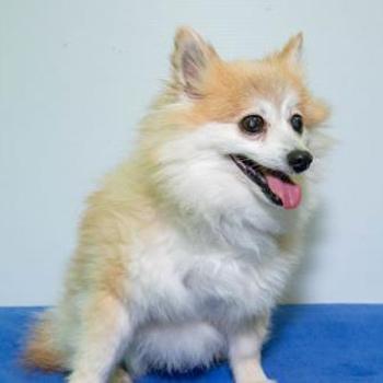 Pomeranian/Female/Senior