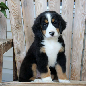 Girly/Bernese Mountain Dog/Female/13 Weeks