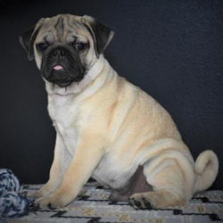 Button/Pug/Male/17 Weeks