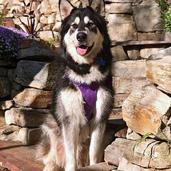Cash/Alaskan Malamute/Male/Young