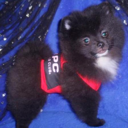 Pomeranian/Male/13 Weeks