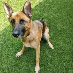 Ruthie/German Shepherd Dog/Female/Adult