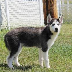 Sam/Siberian Husky/Male/19 Weeks