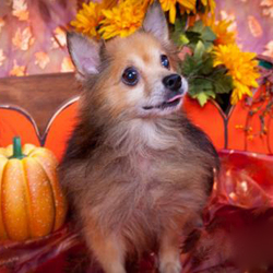 Adopt a dog:Poppy Lancaster/Pomeranian/Male/Senior,
