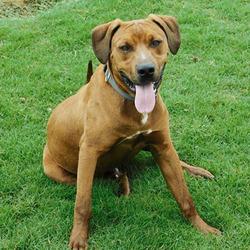 Adopt a dog:Odin/Rhodesian Ridgeback Mix/Male/Young ,