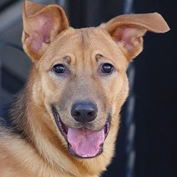 Adopt a dog:Rex von Renchen/German Shepherd Dog Mix/Male/Adult,