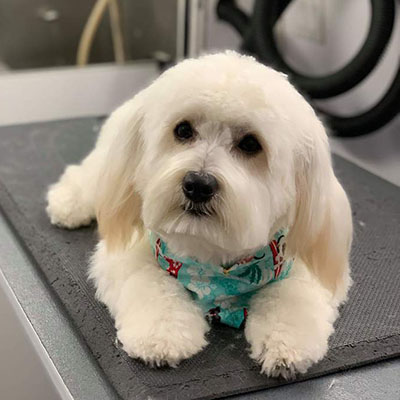 Maltese Mix/Male/Puppy