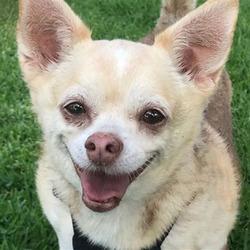 Chloe/Chihuahua Mix/Female/Senior