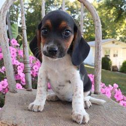 Ruby/Beagle/Female/14 Weeks