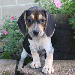 Casey/Beagle/Female/15 Weeks