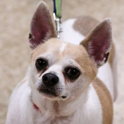 Adopt a dog:Thunder/ Chihuahua Mix/Male/Adult,