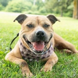 Adopt a dog:Arya/Terrier Mix/Female/Adult,