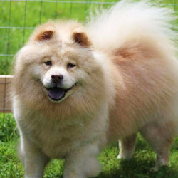 CeCe/Chow Chow/Female/9 years