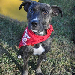 Adopt a dog:Kyle/Terrier Mix/Male/Young,