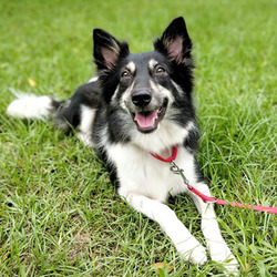 Adopt a dog:Kiss/Border Collie Mix /Female/Adult ,Sweet Kiss was caught into a public shelter. A single senior lady checked her out of the shelter and placed her at a nice foster home nearby. Every weekend, the lady brought toys and treats to see Kiss. She bathed and groomed her nicely, played with her as a granny cared for a granddaughter. A year later, the senior lady got very ill. She knew her time came. She dared not to ask the foster to keep Kiss since it would be a lifelong promise. She transferred Kiss to a private shelter in another city. After Kiss left, the former foster dad worried about her very much. He went checking on her privately that found her losing lots of weight and became timid. The foster daddy couldn't bear to see Kiss suffering. He finally talked into the senior lady to surrender Kiss to him.To help Kiss being socialized, the foster family took her out as often as possible to encounter varied situations and meet lots of people. It took a few months for Kiss to open her heart again and being sociable. Kiss was born with very gentle and sweet natures. There is no mean bone in her. She is doing well with dogs. Kiss loves to be with people she knows well. She is very cuddly and responding recall well at foster. Sweet Kiss is now looking for a loving home that likes a simple life.