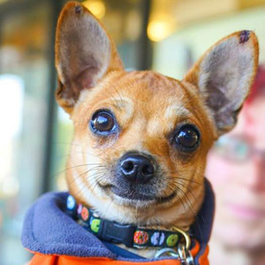 """Adopt a dog:Brad/Chihuahua Mix/Male/Young,Brad is a small dog with a big personality! A cute, spunky little 2-year-old Chihuahua mix, full of life and character! Here are some notes from Brad's current foster Mom:""""Brad can be shy at first but once he warms up he is a truly adventurous, daring, high energy, playful, independent and loving little boy! He is not clingy or needy at all. He is non-stop on the go! Not yet fully house-trained and a bit of a challenge to train because he won't stay still to focus and listen! But he'll get there with patience! Brad gets along with all dogs but because he is so fearless and feisty we don't think he would be well suited to a home with large dogs.But Brad would definitely benefit from the companionship of another resident canine or two, as long as they are well-matched in size. He is not good with cats as he wants to chase them. Brad is a really cute, fun and loving little pistol! He can be a handful so not the best choice for a first-time dog owner, but a wonderful addition to the right home!!"""""""
