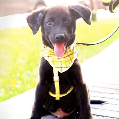 Adopt a dog:Owen/Lab / FMD Mix/Male/Puppy,Meet Owen! Owen was rescued with his siblings when they were found scavenging the streets for food. Poor pups were all alone at a very young age. They have since been rescued and received a clean bill of health. Owen is a very happy boy! He loves people and other dogs. This little guy loves to play and is very people-pleasing. We are looking for a home that understands the responsibilities of owning and raising a puppy. Owen is patiently waiting!