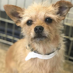 Meredith/ Terrier /Female/Adult