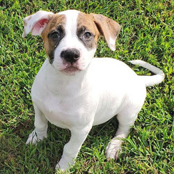 Perdita/American Bulldog/Female/38 weeks,Perdita is a sweet, spunky, and striking girl. She will be lean, athletic, and muscular, and she has an extremely feminine bearing. She will make an excellent family protector and exercise partner. Perdita's sire is CH Nobilis Walk the line, and the dam is our Wessons' Nova. She comes with limited NKC registration, health guarantee, and lifetime training advice and support.Perdita can't wait to shower you with puppy love, so hurry! Don't miss out on the pup of a lifetime!