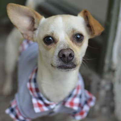Adopt a dog:Odin/Dachshund / Jack Russell Terrier Mix/Male/Young,Odin is 1-2 years old and weighs 12 pounds. He is sociable with other dogs, give and get kisses from his canine pals. He is crate-trained. His adoption fee is $265 and covers the cost of his neuter, all core vaccines (Rabies and Distemper/Parvo), deworming, microchip and microchip registration.Come meet and adopt Odin and your 2019 is bound to overflow with happiness-plus!