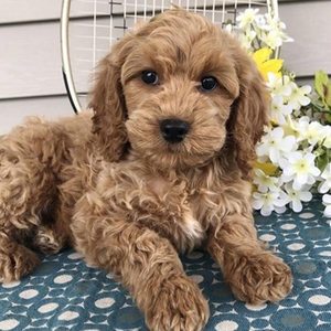 Matthew/Cockapoo/Male/11 Weeks,Matthew is a gorgeous puppy like him deserves to be admired by all! You will be the envy of everyone that sees you. He is so excited about you becoming best friends. He will come to you happy and healthy!Matthew can't wait to shower you with puppy love, so hurry! Don't miss out on the pup of a lifetime!