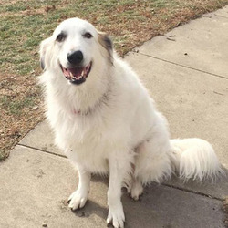 Adopt a dog:Nakoma/Great Pyrenees Mix /Female/5 years,